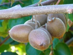 Kiwi on tree